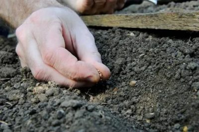 посадка редиски в открытый грунт семенами