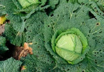 капуста савойская выращивание и уход