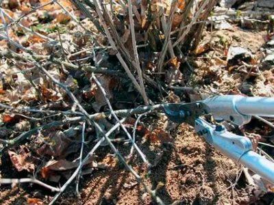 как обрезать крыжовник после сбора урожая