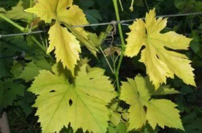 желтеют листья винограда в начале лета что делать