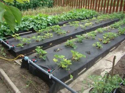 как правильно посадить клубнику весной на агроволокно