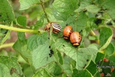 борьба с колорадским жуком без химии