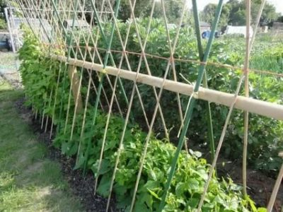 стручковая фасоль выращивание и уход