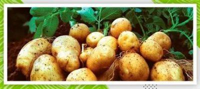гумат калия для картофеля