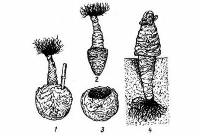 как получают семена капусты