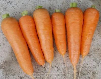 сорт моркови нантская