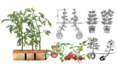 переросли помидоры что делать