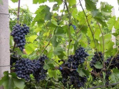 виноград кодрянка описание сорта