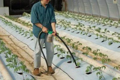 как часто поливать помидоры в теплице из поликарбоната