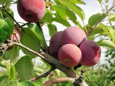 сорт яблони легенда