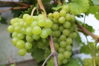 краса севера сорт винограда