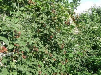 ежевика торнфри выращивание и уход