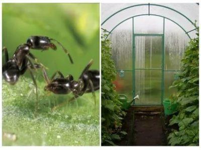 муравьи в теплице с помидорами как избавиться
