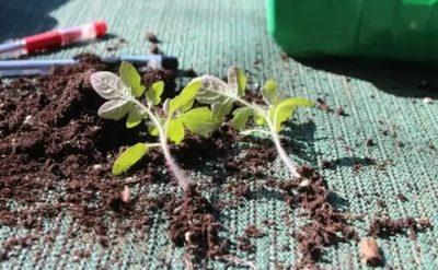 пикировка рассады помидор