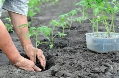 как посадить помидоры в открытый грунт правильно