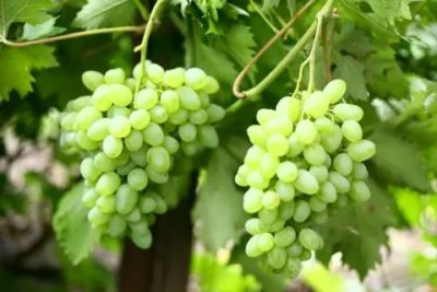 ультраранние сорта винограда