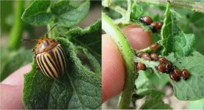 жуки вредители картофеля