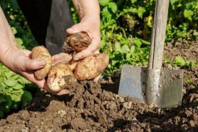 когда копать картофель на хранение