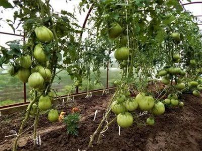 помидоры в парнике уход