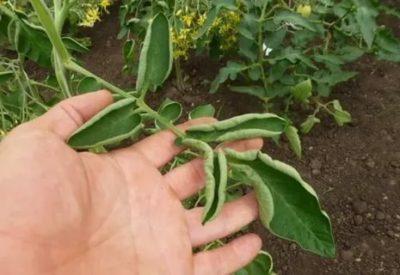 почему скручиваются листья у помидор в открытом грунте и что делать