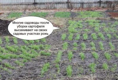 какие сидераты посадить осенью после картофеля