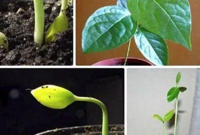 как посадить хурму