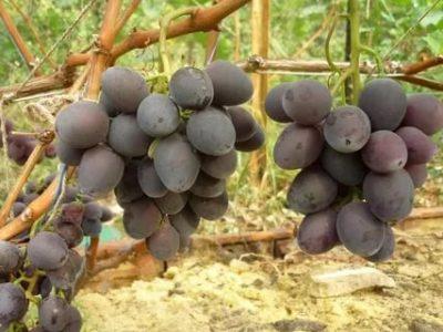 сорт винограда мавр