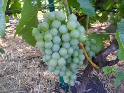 сорт винограда илья