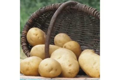 сорт картофеля минерва