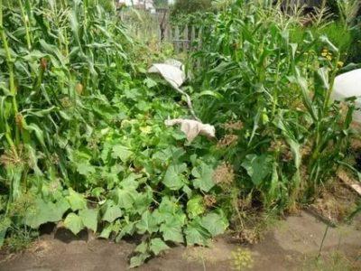 что посадить рядом с огурцами в открытом грунте