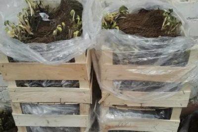как сохранить рассаду клубники до весны