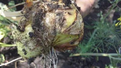 как избавиться от червей в луке
