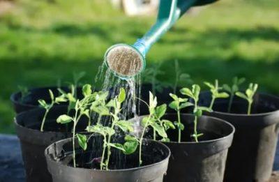 какой водой поливать рассаду