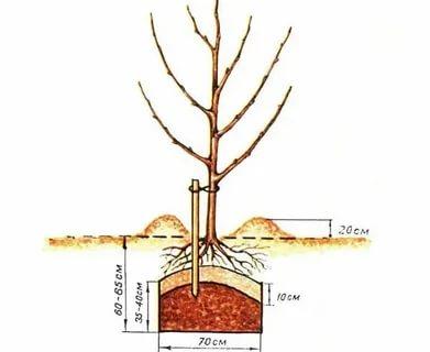 как правильно посадить яблоню весной в сибири