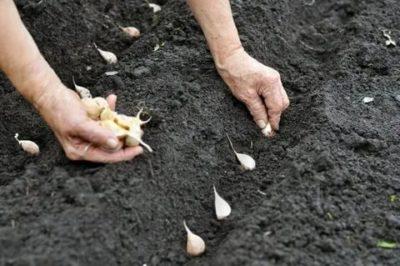 как посадить летний чеснок