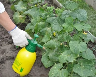как поливать зеленкой огурцы