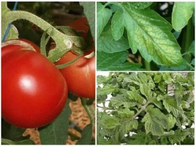 на помидорах тля чем обработать