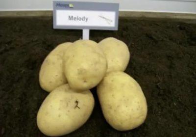 сорт картофеля мелодия