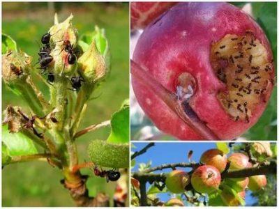 муравьи и тля на яблоне