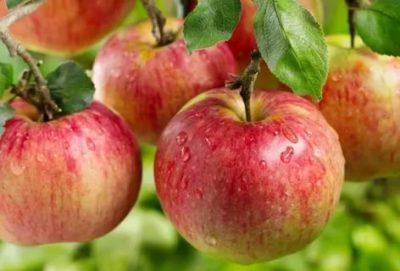 сорт яблони ауксис