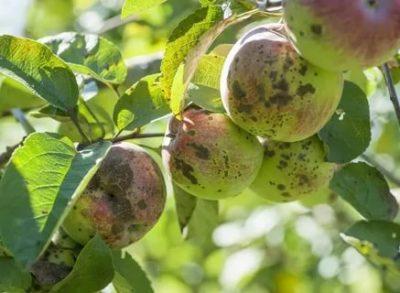 парша на яблоне как бороться