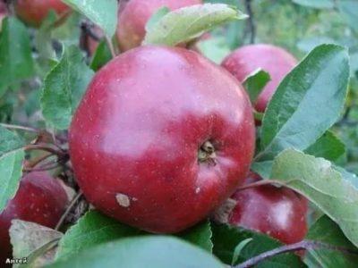 сорт яблок антей