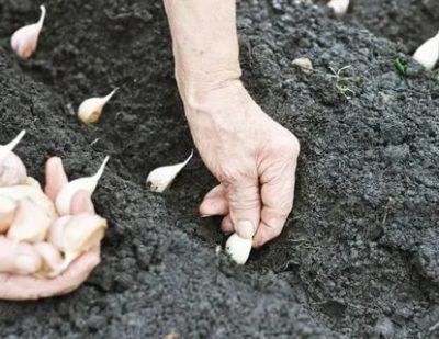 чеснок яровой посадка и уход в открытом грунте