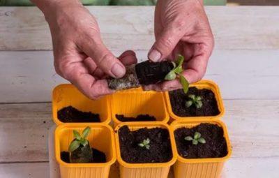 как посадить эустому на рассаду