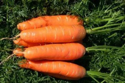 сорта моркови устойчивые к морковной мухе