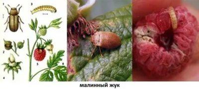 как избавиться от червей в малине