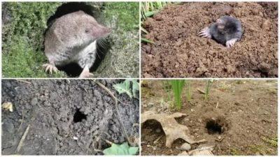 как избавиться от землеройки на огороде