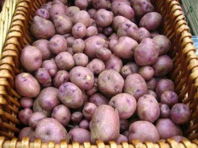 лучшие сорта картофеля для подмосковья