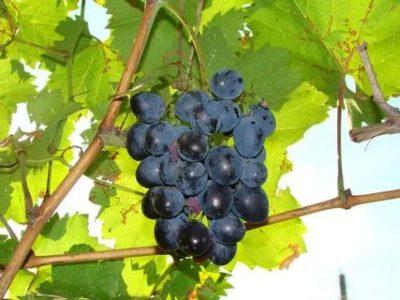 виноград сорт мерседес