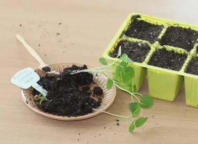 как сеять физалис на рассаду
